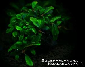 Kualakuayan1_bucep_net