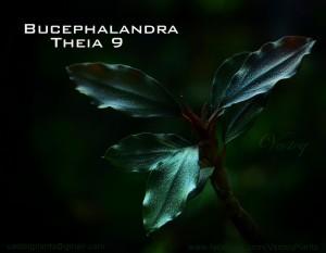 Theia9_bucep_net
