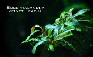 Velvet Leaf 2_bucep_net