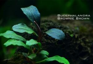 bucep_net_brownie_brown