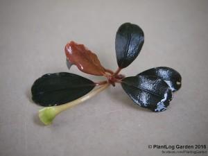 bucephalandra-sp-brownie-helena-1